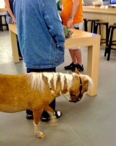 Miniature horse in Apple Store.
